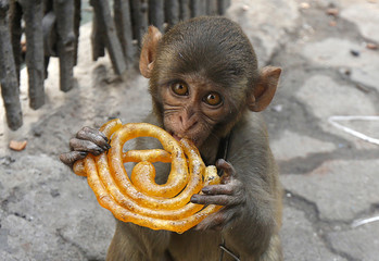 Musafir a pet monkey eats a Jalebi sweet on a pavement in Kolkata