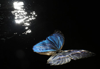 A preserved Morpho amathonte butterfly is seen submerged in a tank at the studio of photographer Alexander James in London