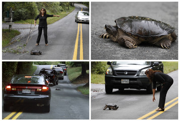 This combination picture shows Rachel Bello guiding a stranded turtle to safety on Walker Road in Great Falls, Virginia