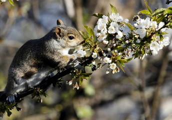 A squirrel sits on a branch of a cherry tree in a garden in London