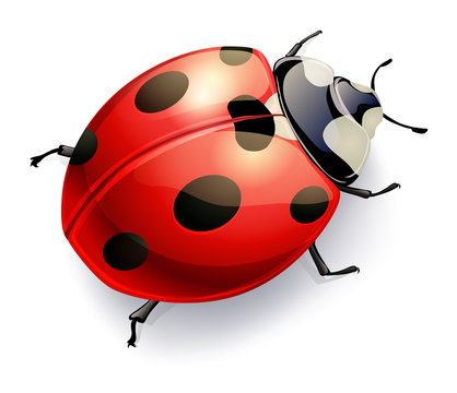 ladybug isoalted on white. vector realistic illustration