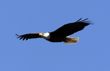 A bald eagle flies over the tree tops in West Newbury
