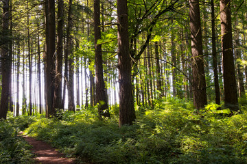 Path in the forest with gigantic trees in sunlight