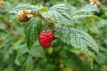 view shows raspberries in garden outside Moscow