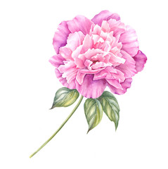 Pink peony flower with leaves