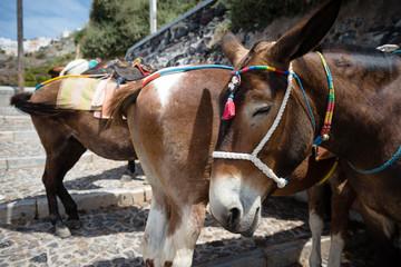 Santorini donkeys on the steps to Fira used for transportation, Greece