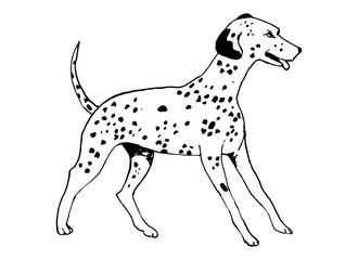The Dalmatian dog breed on white background