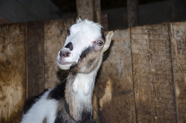 Goat in the stall. Photographs of goats in a real habitat.