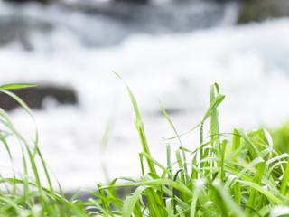 清流のほとりに育つ草