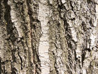 樹木の外皮