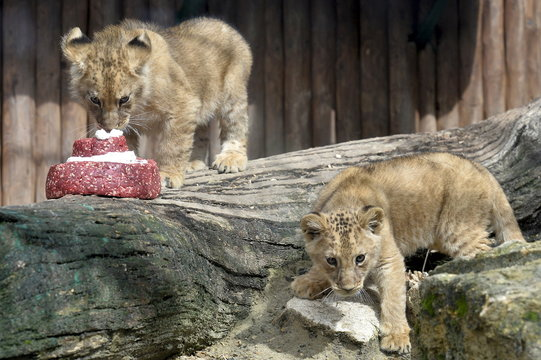 Two fourteen-week old Barbary lions (Panthera leo leo), a male named Ramzes and a female named Zara, are seen after a naming ceremony at the Bojnice Zoo
