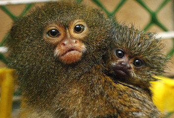 A male Pygmy Marmoset monkey and its two-month-old baby look from a cage at the Royev Ruchey Zoo in the Siberian city of Krasnoyarsk