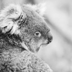 Koala in a eucalyptus tree. Black and White