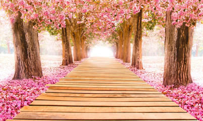 Fototapeta Falling petal over the romantic tunnel of pink flower trees / Romantic Blossom tree over nature background in Spring season / flowers Background obraz