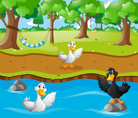 Three ducks in the river
