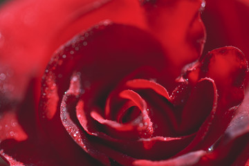 Close-up macro photography of a rose with drops on it