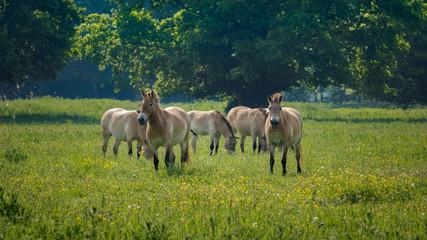 Printed roller blinds Horses Przewalski horses Naturepark Lelystad Netherlands spring 2017