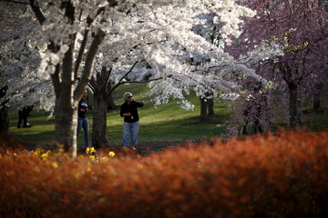 People walk through blossoming cherry trees at the Branch Brook Park in Newark, New Jersey