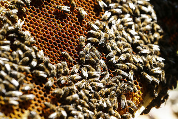 Honeybees settle on a honeycomb at farm in the western Austrian village of Seefeld
