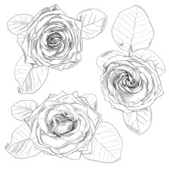 Hand drawn rose isolated on white background.  Vector illustration.