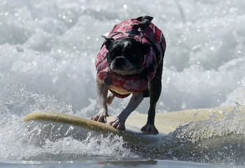 A dog catches a wave during the Surf City Surf Dog contest in Huntington Beach