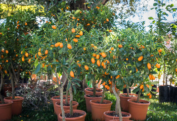 Kumquat trees in plant nursery