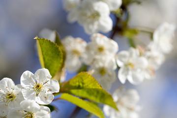 Fototapete - weiße Blüten Am Kirschbaum mit blauem Himmel