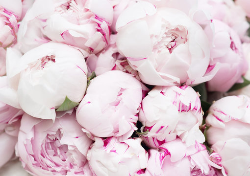 White and pink peonies. Background, wallpaper
