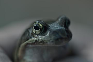 Närbild, djur, öga
