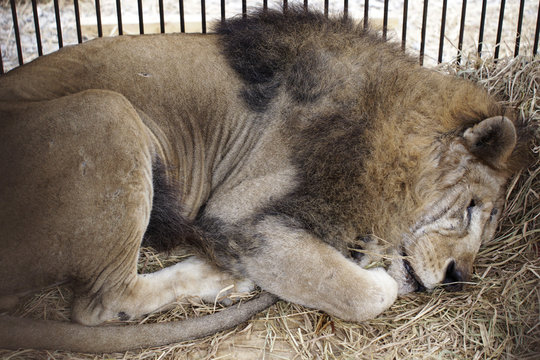 """Rescued lion """"Leo"""" rests in its cage during quarantine at a temporary custody center in Lima"""