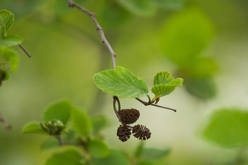 A beautiful closeup of a common black alder branches in spring