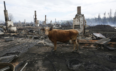 A cow stands amidst the debris of burnt houses after recent wildfires in Krasnoyarsk region