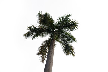 palm tree isolated on white.