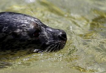 A seal swims in an open air aquarium at Antwerp's zoo