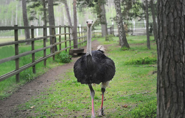 One black ostrich walking on the green grass.