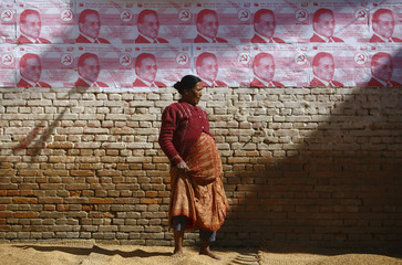 A woman harvests rice in front of election campaign posters of the Chairman of the Unified Communist Party of Nepal at Kritipur in Kathmandu