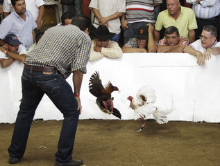 People watch roosters fight in a traditional cockfighting competition in Masaya City