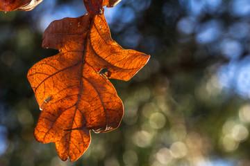 Close up of a sunlit orange brown oak leaf .
