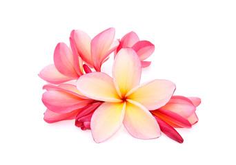 frangipani (plumeria) isolated on white background