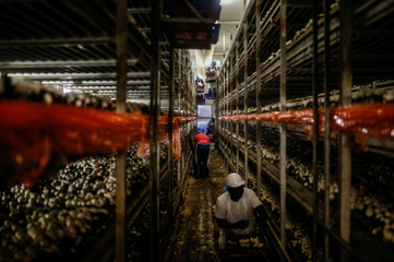 The Wider Image: Migrant mushroom pickers in Canada