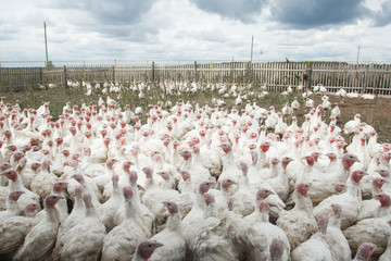 a flock of farm turkeys with one appearing to buck the crowds direction.