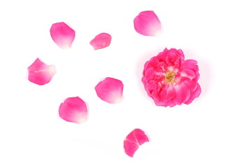 Pink rose with petals isolated on white background, top view