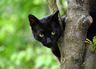Wall Mural - Schwarze Katze - grüne Augen