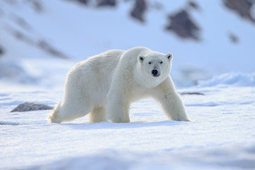 Photo sur Plexiglas Ours Blanc Polar bear of Spitzbergen (Ursus maritimus)