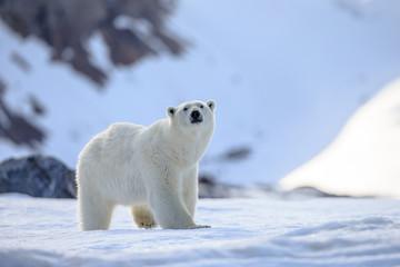 Poster Ijsbeer Polar bear of Spitzbergen (Ursus maritimus)