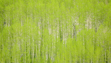 Wall Murals Forest Chartreuse Forest