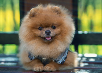Beautiful and fluffy pomeranian dog. Dog on the bench in a park. Pomeranian on a walk