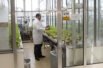 Klimyuk, COO of the company Icon Genetics inspects Tobacco plants (Nicotiana benthamiana) in a laboratory in Halle