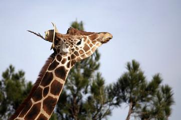 Modesto the giraffe wears a hat at the zoo in Ciudad Juarez