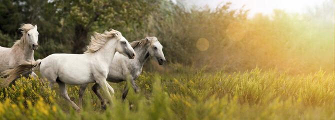 Piękni biali konie biega w polu